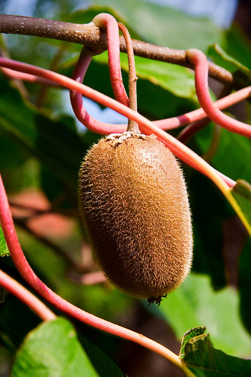 Kiwifruit - photos