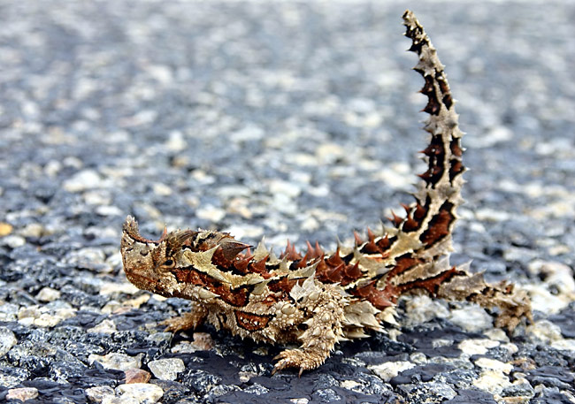 Thorny Devil  - pictures