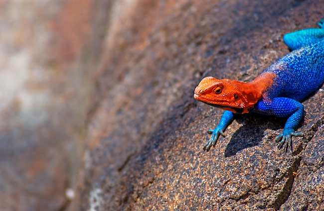 Red-headed Rock Agama - photos, Agama agama