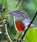 Brown Anole - photos, Anolis sagrei