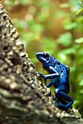 Dendrobates azureus - photos