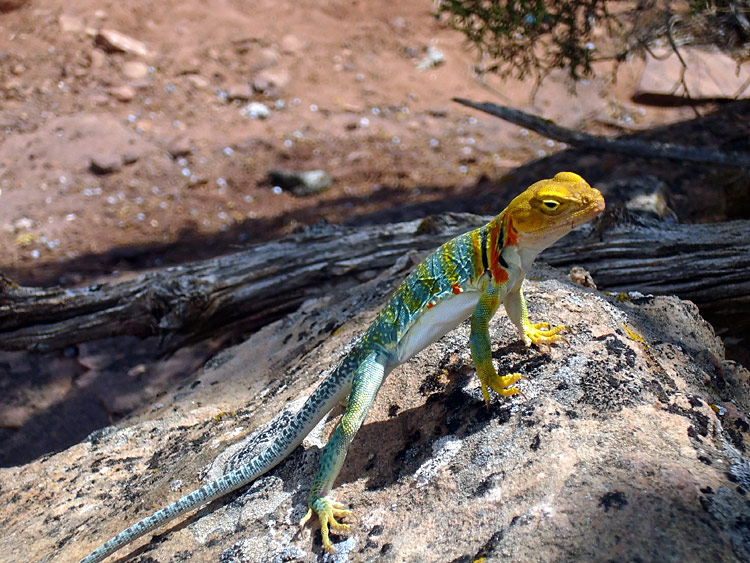 Yellow-headed Collared Lizard - photos, Crotaphytus collaris auriceps