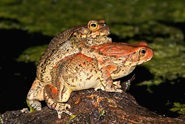 African Red Toad - photos, Schismaderma carens