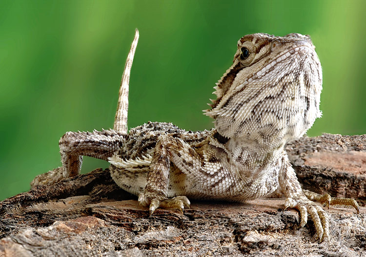 Central Bearded Dragon - photos, Pogona vitticeps
