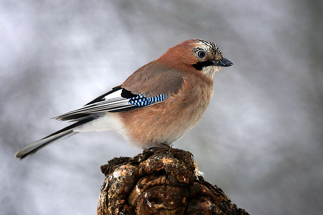 Eurasian Jay  - pictures