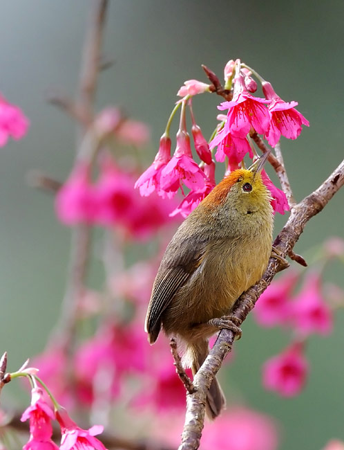 Rufous-capped Babbler - photos, Stachyridopsis ruficeps