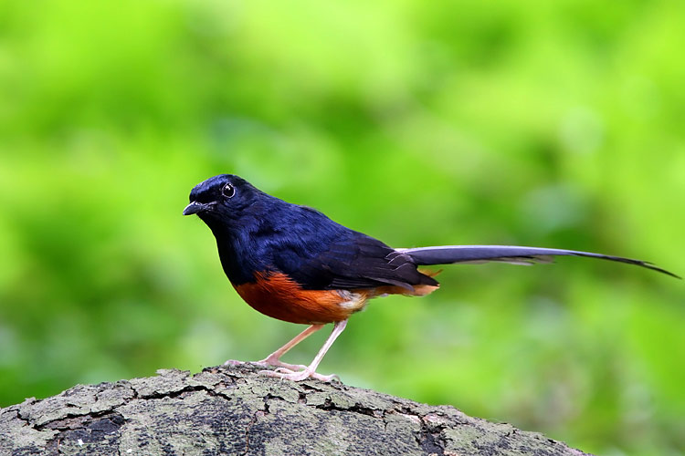 White-rumped Shama - photos, Copsychus malabaricus