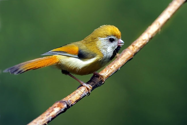 Golden Parrotbill - photos, Paradoxornis verreauxi