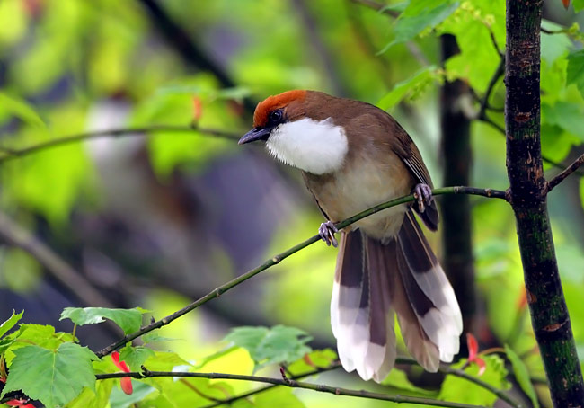 White-throated Laughingthrush - photos, Garrulax albogularis