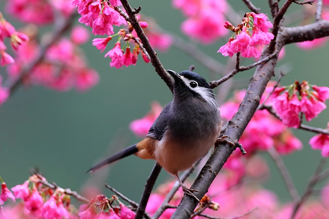 White-eared Sibia - photos, Heterophasia auricularis