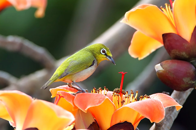 Japanese White-eye - photos, Zosterops japonica