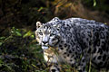Photos - Snow Leopard