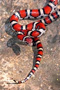 Milk Snake  - pictures