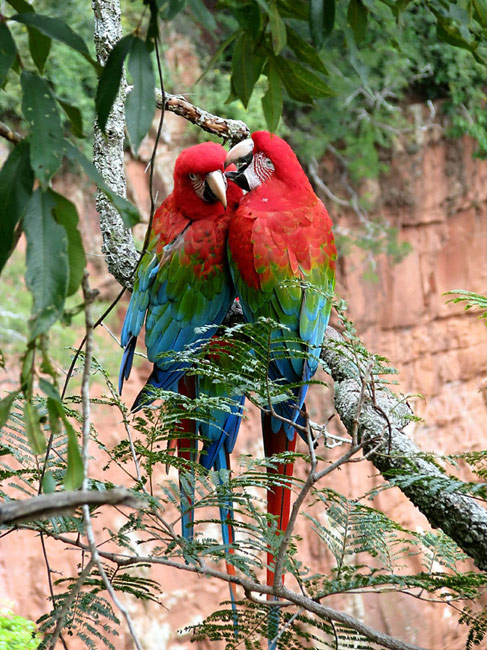 Macaws  - Red-and-green Macaw , Ara Chloropterus