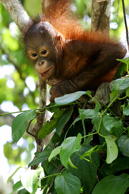 Orangutan - nature photography