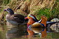 Mandarin Duck  - pictures
