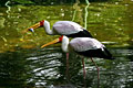 Photos - Yellow-billed Stork