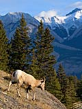 Mouflon canadien - photgraphies de la nature