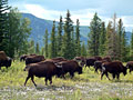 American Bison - nature photography