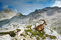 Alpine Ibex - photography