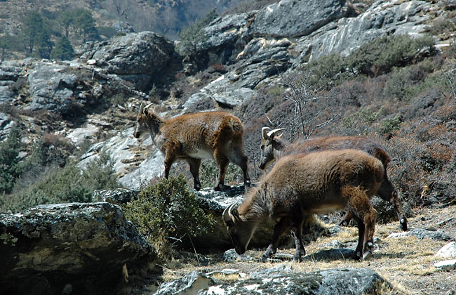 Himalayan Tahr - photos