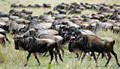 Wildebeest - photo gallery