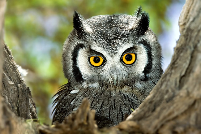 Northern White-faced Owl - photos, Otus Leucotis