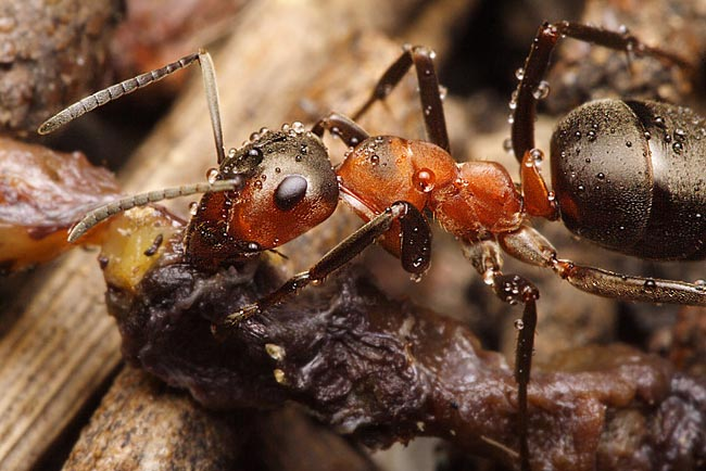 southern wood ant  - photos, Formica rufa