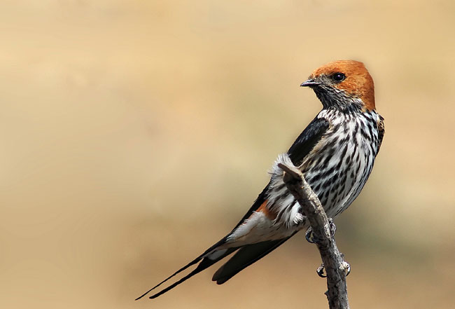 Lesser Striped Swallow - photos, Hirundo abyssinica