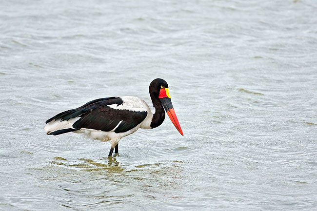Saddle-billed stork - photos, Ephippiorhynchus senegalensis
