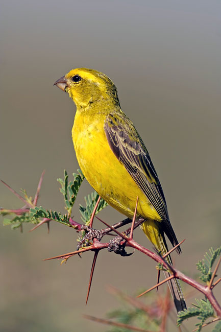 Yellow-fronted Canary - photos, Serinus mozambicus