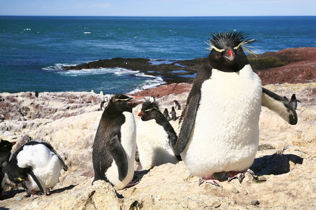 Rockhopper Penguin - photos, Eudyptes chrysocome