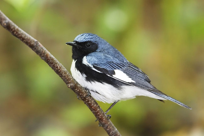 Black-throated Blue Warbler - photos, Dendroica caerulescens