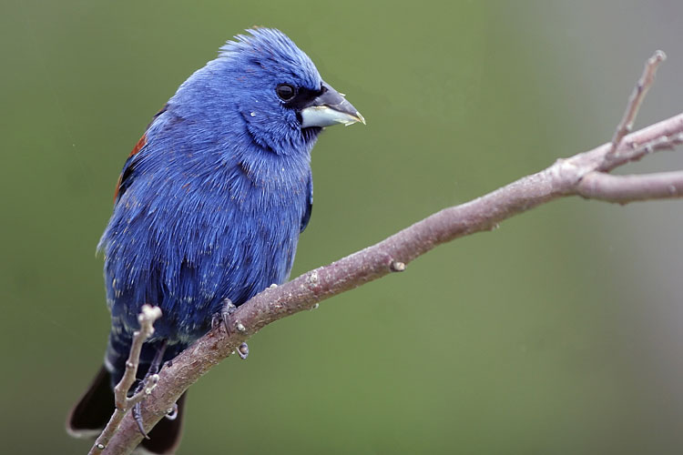 Blue Grosbeak - photos, Guiraca caerulea