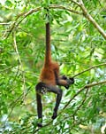 Geoffroy's Spider Monkey - photos, Ateles geoffroyi