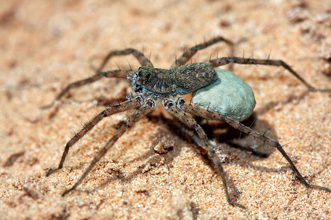 Fishing spider  - photos, Dolomedes