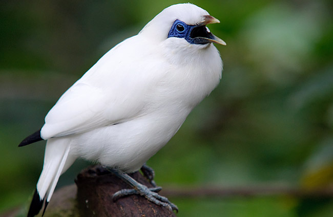 Bali Starling - photos, Leucopsar rothschildi
