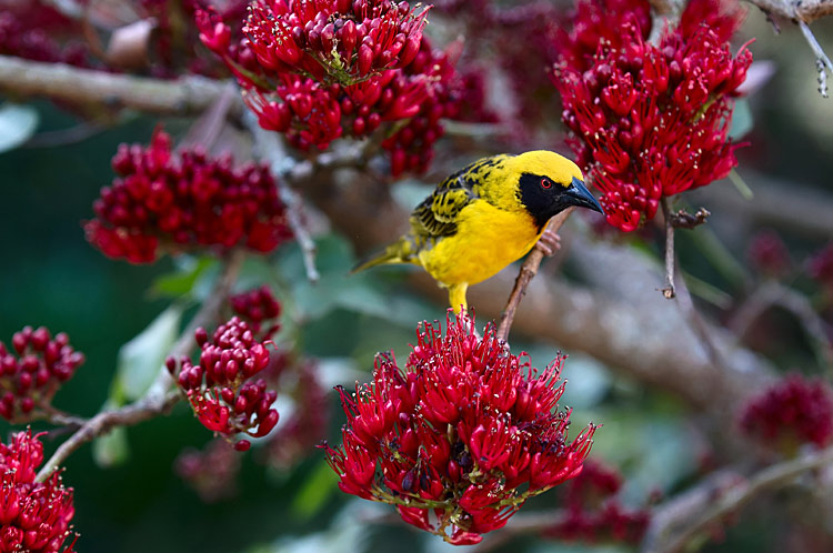 Spotted-backed Weaver - photos, Ploceus cucullatus