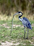 Black-headed Heron   - pictures