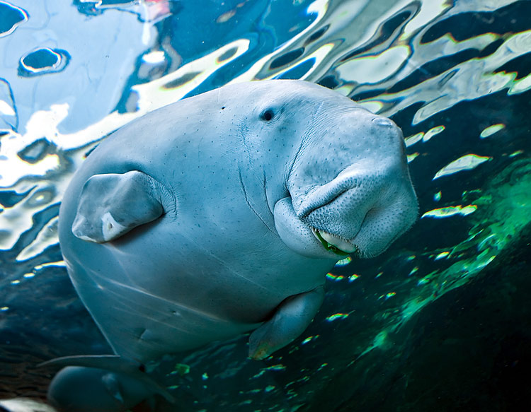 Manatees  - pictures