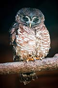 African-Wood-Owl - photos, Chouette africaine