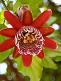 Passion flower  - photography