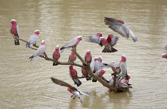 Photos - Galah