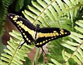 Giant Swallowtail  - pictures