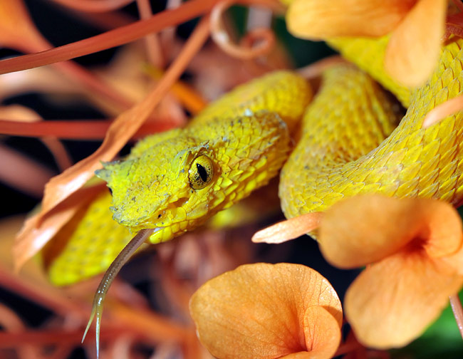 Eyelash pit viper  - pictures
