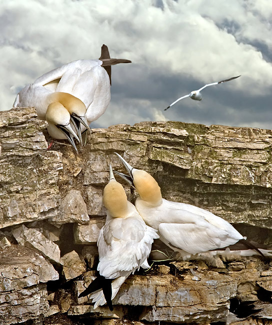 Northern Gannet  - pictures
