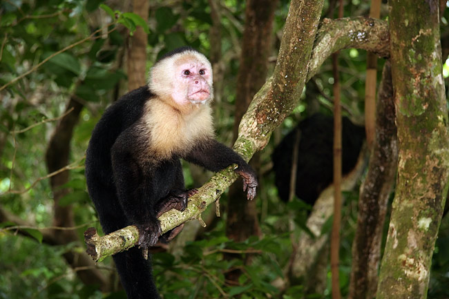 Photos - Capuchin monkey
