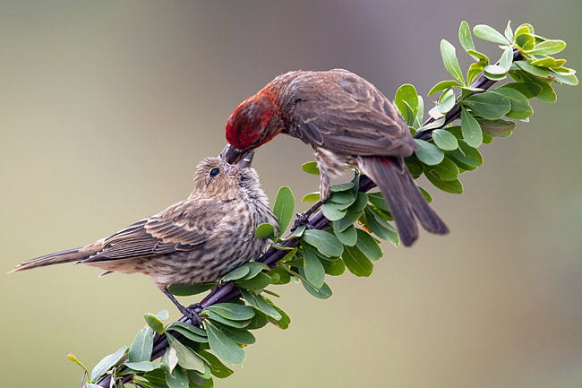 House Finch - photos, Carpodacus mexicanus