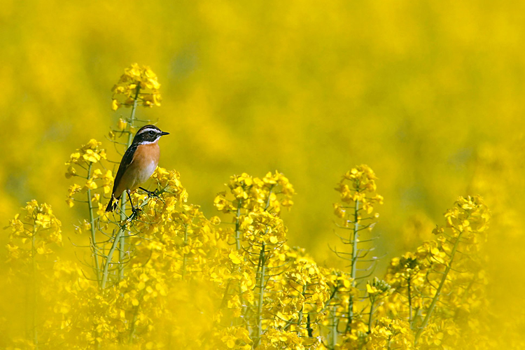 Whinchat  - pictures