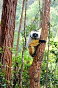 Lemurs - photography
